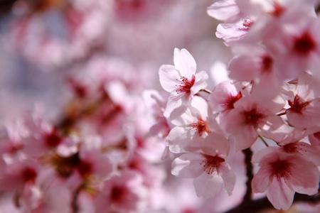 Beautiful pink cherry blossom shot in japan Stock Photo - 11720522