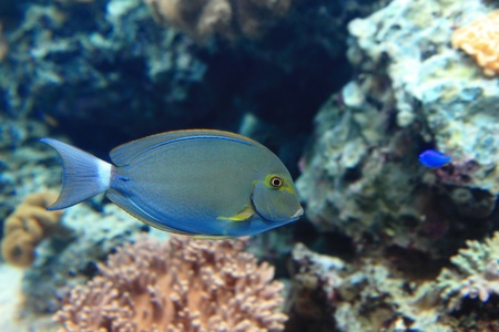 Beautiful blue tropical fish with coral background photo