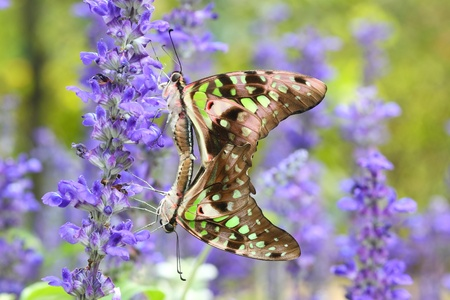 Love of butterfly with green background photo