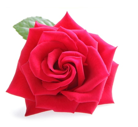 Red rose flower on white background photo