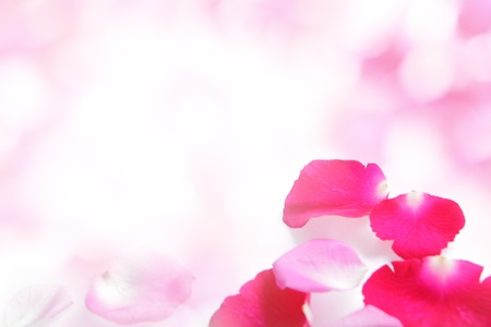 flower petal: Rose pink petal abstract background with white copy space