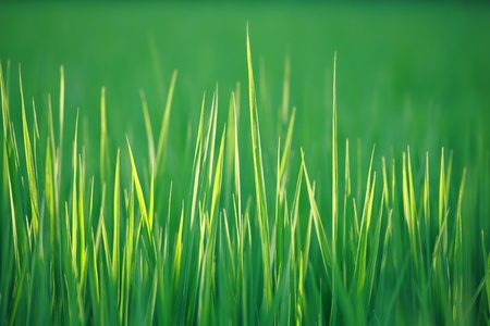 rice paddy: green grass macro close up great for background