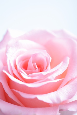flower close up: pink rose macro with copy space  in the morning