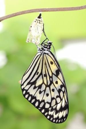 amazing moment about butterfly change form chrysalis photo