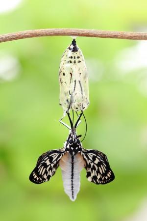 geweldig moment over de vlinder van vorm veranderen Chrysalis Stockfoto
