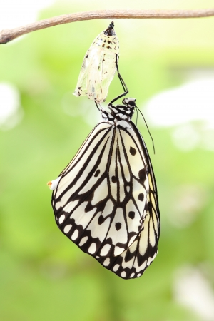 transfigure: amazing moment about butterfly change form chrysalis