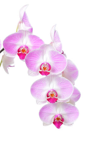 Pink orchid flower, isolated on white background photo
