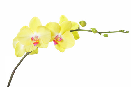 yellow orchid flower, isolated on white background Stock Photo