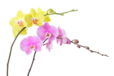 Pink and yellow orchid flower, isolated on white background photo