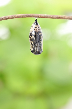 pupae: amazing moment about butterfly change form chrysalis