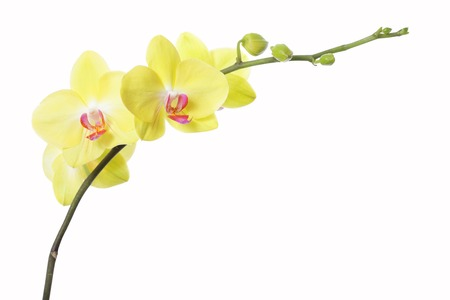 yellow orchid flower, isolated on white background photo