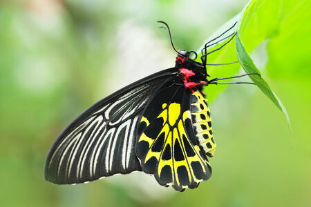 papilionidae: Close up of golden birdwing Butterfly - Troides aeacus kaguya with green background