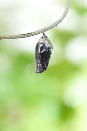 transmogrify: amazing moment about butterfly change form chrysalis