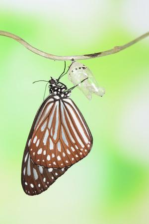 transmute: momento incre�ble de cambiar la forma de cris�lida de mariposa