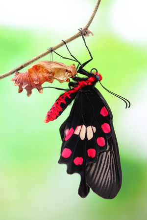 amazing moment about butterfly change form chrysalis - red, Pachliopta  photo