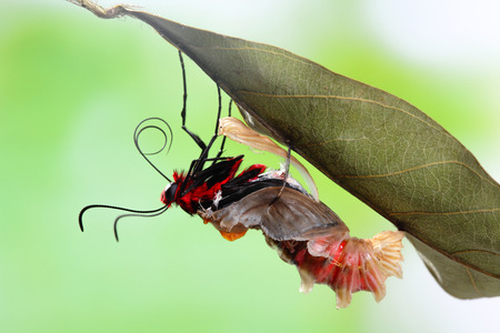 amazing moment about butterfly change form chrysalis - Byasa polyeuctes  photo