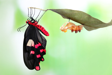 life change: amazing moment about butterfly change form chrysalis - Byasa polyeuctes  Stock Photo