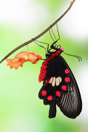 amazing moment about butterfly change form chrysalis - red, Pachliopta  Stock Photo