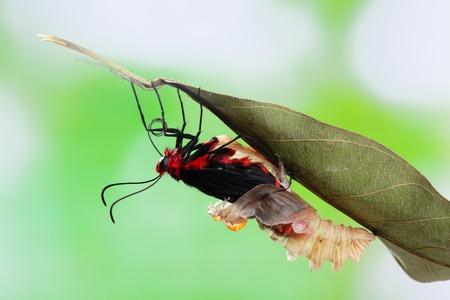 transmute: amazing moment about butterfly change form chrysalis - Byasa polyeuctes  Stock Photo