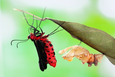 amazing moment about butterfly change form chrysalis - Byasa polyeuctes  Stock Photo