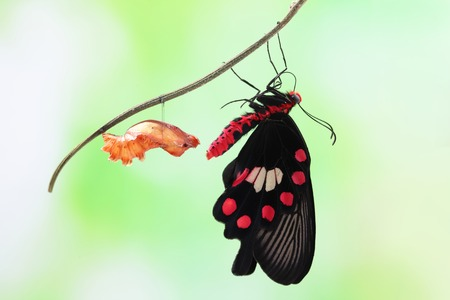transmute: amazing moment about butterfly change form chrysalis - red, Pachliopta  Stock Photo