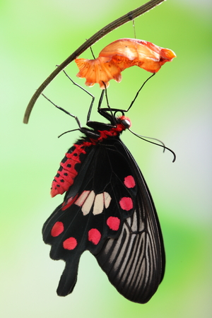 cocoon: amazing moment about butterfly change form chrysalis - red, Pachliopta  Stock Photo