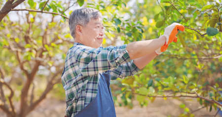 asian senior man is pruning and gardening tree in orchard