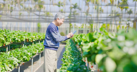 agriculture technology concept-asian senior male agronomist using smart phone to see the report on the internet in greenhouse