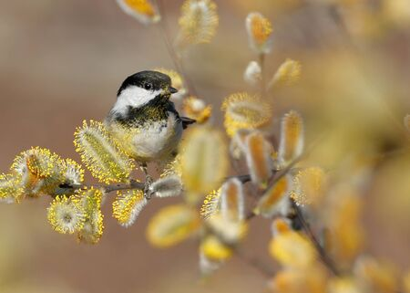 Black-capped Chickadee covered in yellow pollen on flowering Willow tree during springtime.