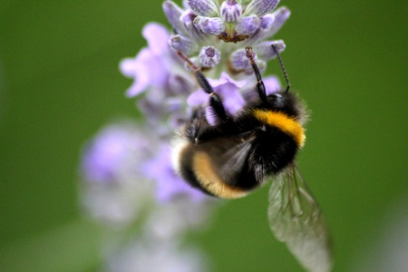 Bee Pollinating Flower Stock Photo - 10143733