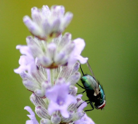 Fly Isolated On Flower photo
