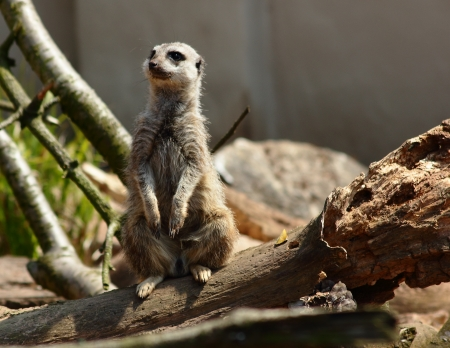 Meercat Standing on Two Legs Shallow DOF Stock Photo - 13806973