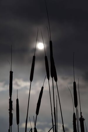 cattails: Cattails silhouette against the sun through the clouds