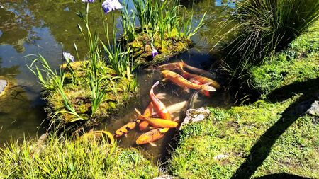 Asian Garden Coy Fish and Giant Gold Fish