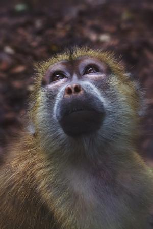 chimpances: Mono