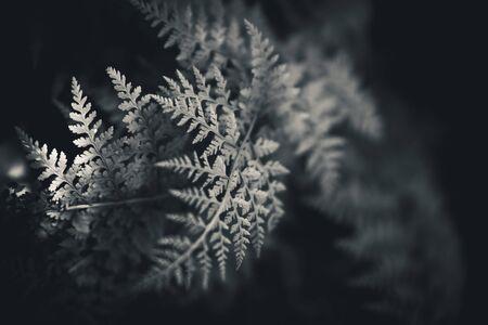 helechos: Black and white ferns Foto de archivo