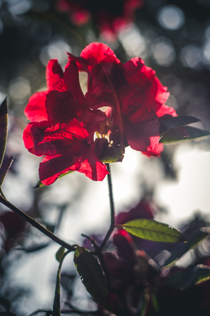 Close up image of red flowers in sunlight.