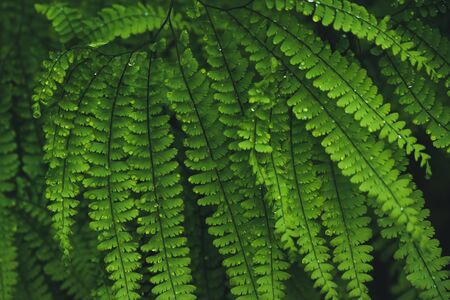 Close up of lush ferns after the rain.
