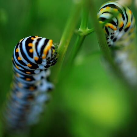 Caterpillars eating parsley