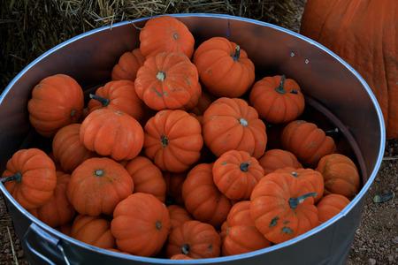 Multiple mini orange pumpkins in a  metal bucket
