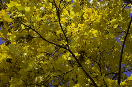 Autumn maple tree covered with golden leaves photo