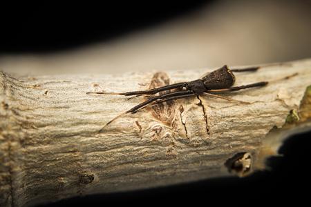 Comb-Footed Spider (Episinus sp.)