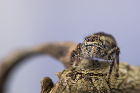 Jumping spider  Salticidae Stock Photo