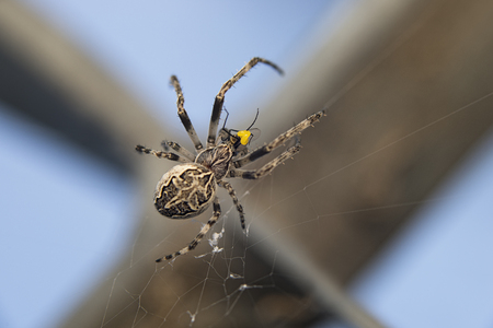 Crested spider with its prey  Araneus diadematus