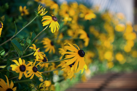Yellow daisy  Rudbeckia fulgida Stock Photo