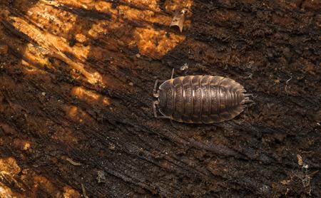 Armadillidium vulgare, the pill-bug, potato bug, pill woodlouse, roly-poly, doodle bug or carpenter.