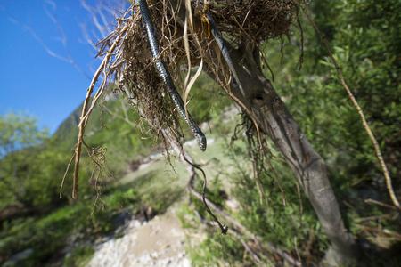 Natrix natrix. The dead snake on the branch.