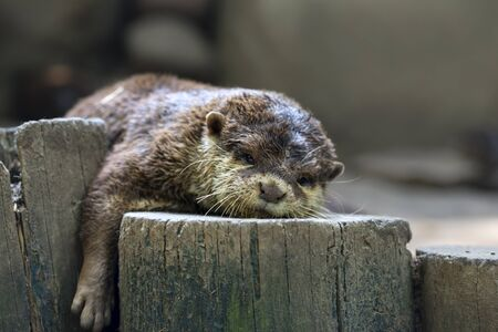 Asian small-clawed otter / Aonyx cinereus