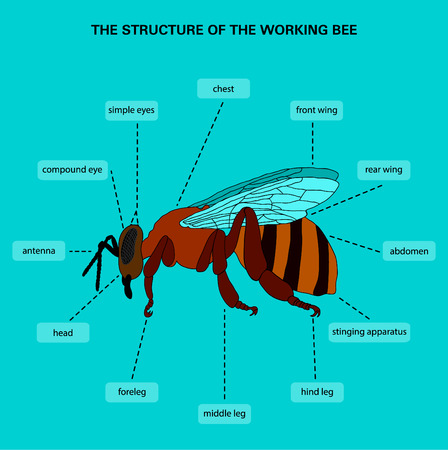 Information poster with a picture of the outer structure of the body of the bee. Done in the style of a flat design. Bee infographics.