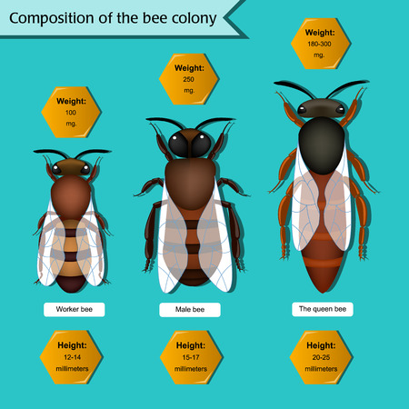 Information poster on the composition of the bee colony. Beekeeping infographics. Illustration